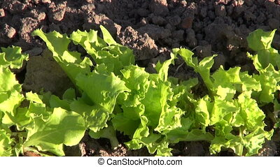 lettuce growing in garden - Green lettuce growing in the...