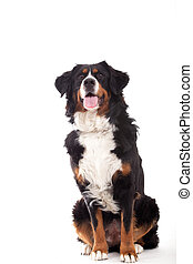 Bernese mountain dog sitting