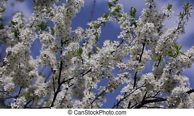branch cherry tree flowering - branch cherry tree in front...