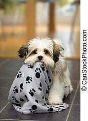 Lhasa Apso puppy - Cute lhasa apso puppy plays with its...