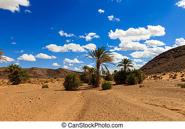 palm in the  desert oasis morocco