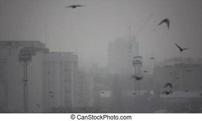 Fog morning birds flight - Many black crows flight through...