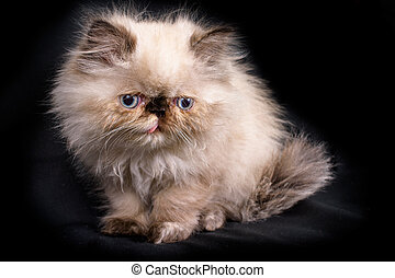 Young Blue Point Himalayan Persian kitten - A young, two...