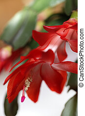 Christmas cactus - Detail of Christmas cactus bright red...