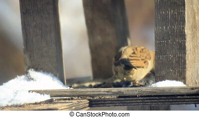 Sparrows at feeder in sunny day - Sparrows between snow at...