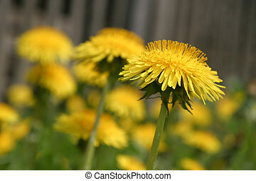 Dandelions - Bright yellow dandelions in a garden. Shallow...