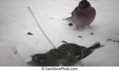 Birds search food under snow - Birds search food on snow...