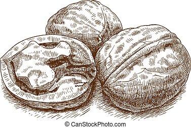 illustration of walnut - Vector engraving illustration of...