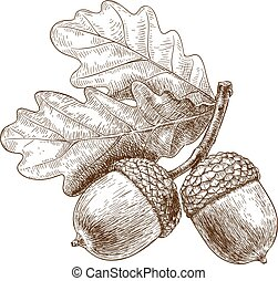 illustration of acorns - Vector engraving illustration of...