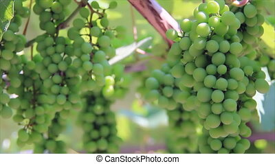 Sunbeams on immature green grapes - Immature green grapes...