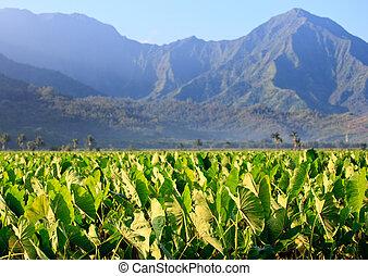 Taro plants at Hanalei