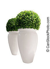 Vases with buxus isolated on white background Buxaceae...
