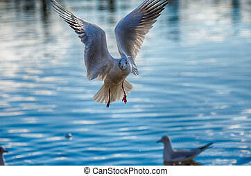 Picturesque close up of a seagull hovering in landing...