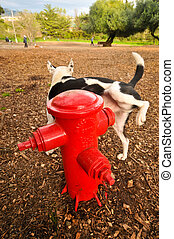 Dog urinating on a fire hydrant - A dog pees on a fire...