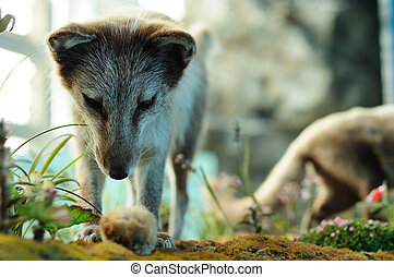 ártico, zorro, caza