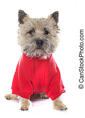 dressed cairn terrier - purebred cairn terrier in front of...