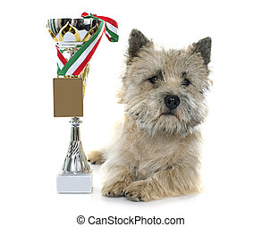 winer cairn terrier - winner cairn terrier in front of white...