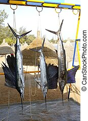 Sailfish catch hanging marlin fishing trophy - Sailfish...