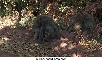 Olive baboons grooming - Group of Olive baboons sitting...