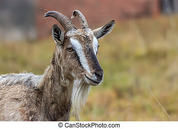 Adult village goat - Adult Alpine goat breed with large...