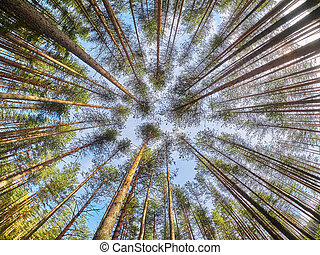 view of pine trees from below