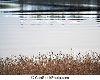 Dry reeds on the lake