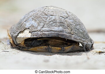 zmarły, żółw,