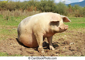 sow near the farm full length - sow standing in mud near the...