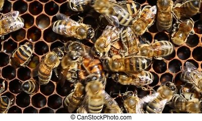 Queen Bee and Bees - Queen Bee moving on cells