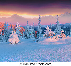 Colorful winter scene in the hight mountains. Small fir...