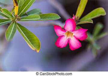 Adenium, obesum, Deserto, rosa,