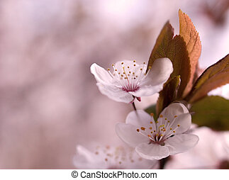 cherry blossoms in the spring time