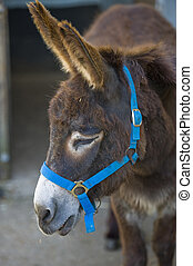 Donkey close up with blue reins
