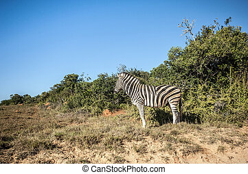 Zebra - Picture shows a Zebra in South Africa