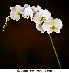 Phalaenopsis aphrodite orchid - detail of the beautiful...
