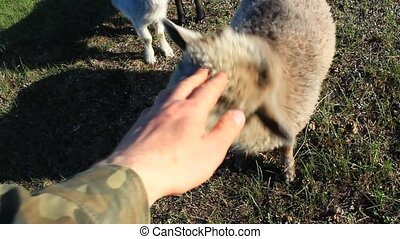 hand strokes head of sheep on the farm