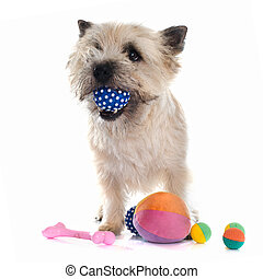 playing cairn terrier - purebred cairn terrier in front of...