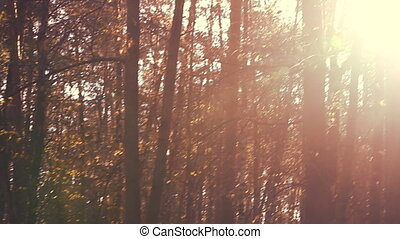Forest in autumn with sunset light - Camera slowly moving...