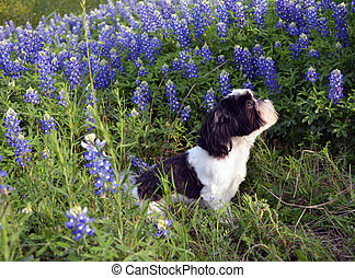 Sideview Jim in Blue Bonnets - Black and White Shih Tzu...