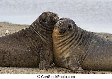 Elephant Seal Pups - Southern Elephant Seal pups Mirounga...