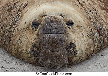 Elephant Seal - Portrait of a male Southern Elephant Seal...
