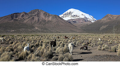 The Andean landscape with herd of llamas, with the Sajama...