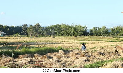 Farmers harvesting rice in the field, Thailand, stock video