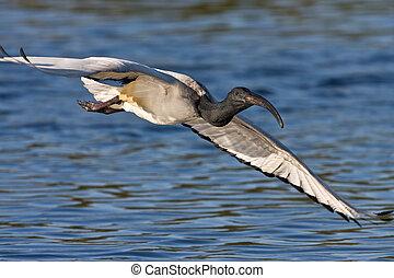 African Sacred Ibis in flight over water
