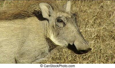 warthog eating grass Kruger - warthog Phacochoerus africanus...