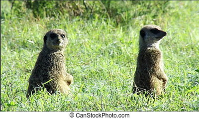 Meerkats on alert at burrow - Meerkats (Suricata suricatta)...