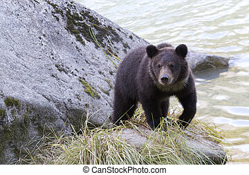 Grizzly bear cub on rock along Chil - Young grizzly bear cub...