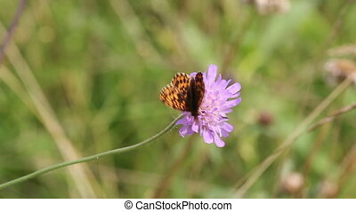 Silver-washed Fritillary Argynnis paphia Butterfly on Meadow...