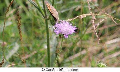 Ringlet (Aphantopus hyperantus) But