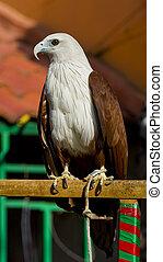 sea eagle - portrait of a young sea eagle